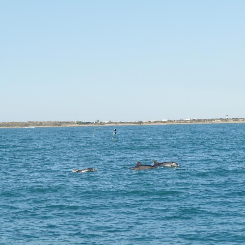 Les dauphins lors de la traversée Grande-Motte - Porquerolles