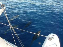 Les dauphins lors de la traversée