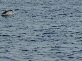 Des dauphins passent au loin.